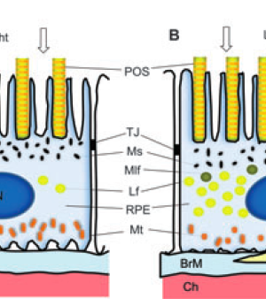 Retinal Photodamage by Endogenous and Xenobiotic Agents